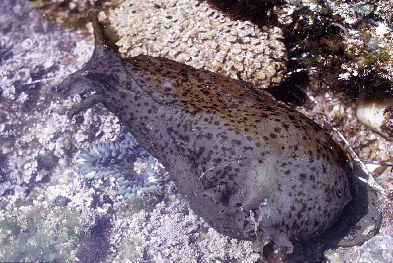 foto-invertebrato-Aplysia-Californiana